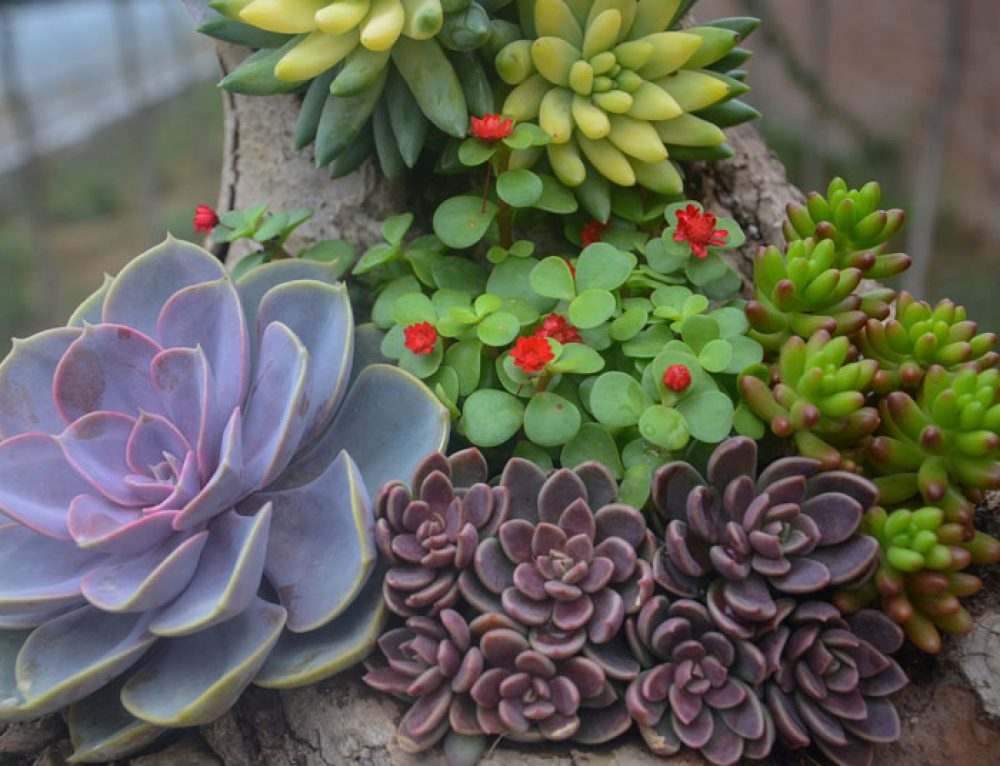 Succulent Gardens, Luscious in the Drought